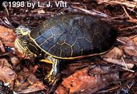 Image of: Deirochelys reticularia (chicken turtle)
