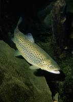 Salmo trutta - Sea Trout