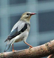 Red-billed Starling - Sturnus sericeus