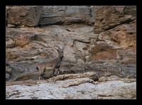 The Asiatic Ibex - Ladakh