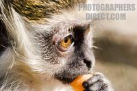 Photo of a baby Green Monkey eating stock photo