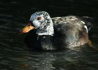 A white winged duck on water. It has a speckled head and a prominent orange bill.