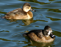 : Aythya affinis; Lesser Scaup