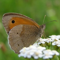 Maniola jurtina - Meadow Brown