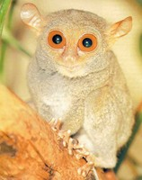photograph of tarsier