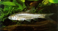 Barbus paludinosus, Straightfin barb: fisheries
