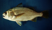 Stellifer minor, Minor stardrum: fisheries