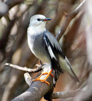 Image of: Sturnus sericeus (red-billed starling)
