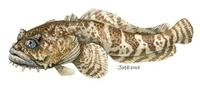 Image of: Opsanus tau (oyster toadfish)