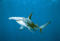 Photo: Hammerhead shark