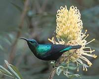 Madagascar Green Sunbird (Nectarinia notata) photo