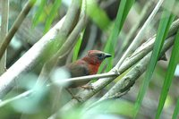 Red-throated Ant-Tanager - Habia fuscicauda
