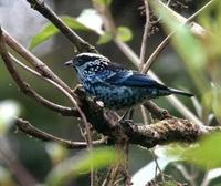 * Berly Spangled Tanager