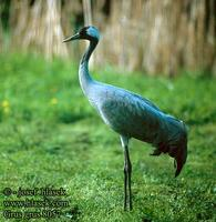 Grus grus 8057 UK: Common Crane DE: Kranich