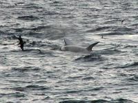 ...A killer whale attacks an Antarctic minke whale in 		the Gerlache Strait, Antarctica - February