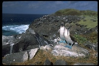 : Sula nebouxii; Blue Footed Booby