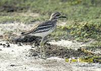 Photo of dytík úhorní Burhinus oedicnemus Stone Curlew Eurasian Thick Knee