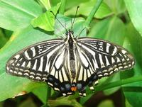 Papilio xuthus - Chinese Yellow Swallowtail