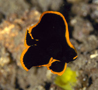 Platax pinnatus, Dusky batfish: fisheries, aquarium