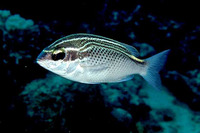 Scolopsis ghanam, Arabian monocle bream: fisheries, aquarium