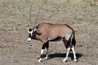 Image of: Oryx gazella (gemsbok)