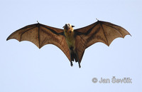 Pteropus giganteus - Indian Flying Fox