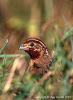 Jungle Bush Quail - Perdicula asiatica