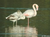 Greater Flamingo - Phoenicopterus roseus