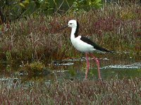 White-headed Stilt - Himantopus leucocephalus