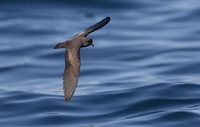 Least Storm-Petrel (Oceanodroma microsoma) photo