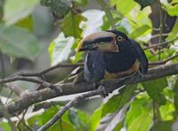 Pale-mandibled Aracari (Pteroglossus erythropygius) photo