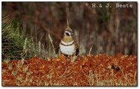 Spinifex Pigeon - Geophaps plumifera
