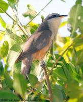 Mangrove Cuckoo - Coccyzus minor