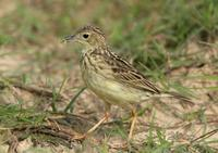 *NEW* Yellowish Pipit