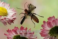 Soldier beetle ( Cantharis rustica ) stock photo