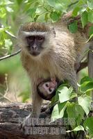 Vervet Monkey ( cercopithecus aethiops ) with young suckling stock photo