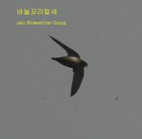 200 바늘꼬리칼새White-throated Needle-eailed Swift