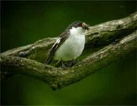 Male and female Pied Flycatcher with food for young at Bridges (Jim Almond) 11/6/05