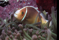: Amphiprion perideraion; Pink Anemonefish
