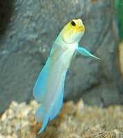 : Opistognatbus aurifrons; Yellowhead Jawfish