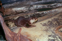 : Aonyx cinerea; Oriental Small-clawed Otter