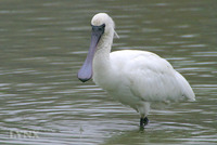 Black-faced Spoonbill黑臉琵鷺