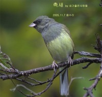 촉새 Black-faced Bunting