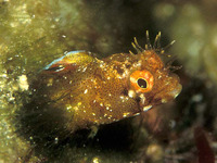 Acanthemblemaria aspera, Roughhead blenny: aquarium