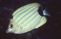 Chaetodon fremblii, Bluestriped butterflyfish: aquarium