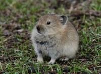 Image of: Ochotona curzoniae (black-lipped pika)