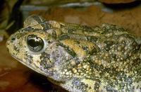 Image of: Bufo terrestris (southern toad)