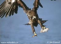 Haliaeetus albicilla - Greenland White-tailed Eagle