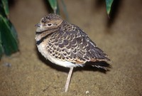 Smutsornis africanus - Double-banded Courser