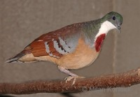 Gallicolumba crinigera - Mindanao Bleeding-heart dove